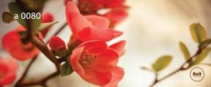 عکس گل رادیاتور رنگی